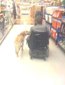 yellow labrador acting as service dog for handicapped