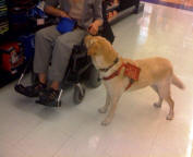 yellow labrador retriever service dog