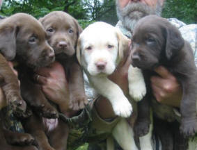 chocolate lab pups and yellow labrador puppy