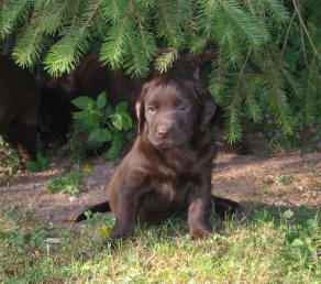 an adorable english chocolate labrador puppy