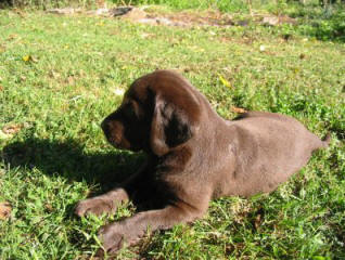 sweet little chocolate lab pup