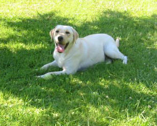 english yellow labrador