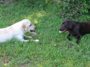 chocolate and yellow labrador dogs