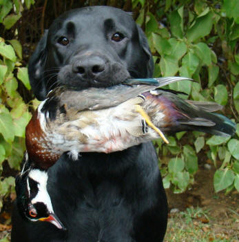 Klondike Labrador Retrievers Excel in the Field!