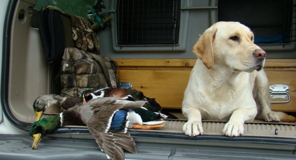 yellow labrador retriever hunting ducks in pennsylvania