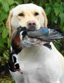 pennsylvania hunting labrador retrievers