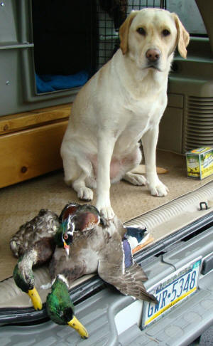 hunting yellow labrador retriever in pennsylvania