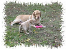 yellow labrador dog and pup